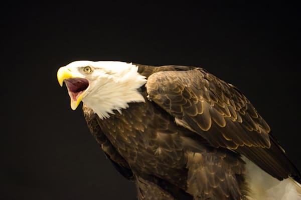 DHaberman-Eagle-Screaming