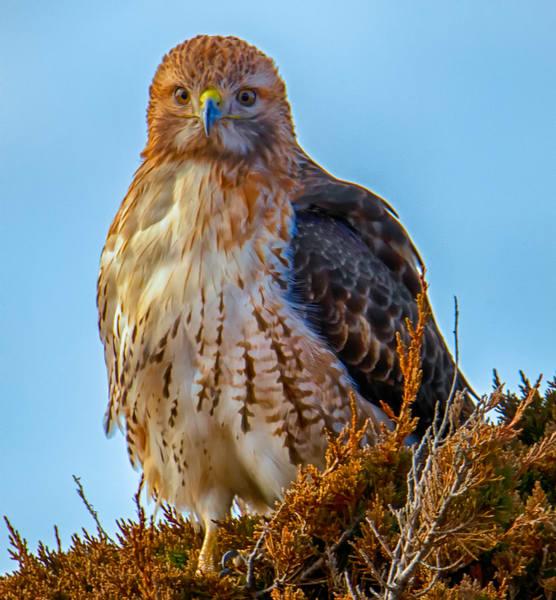 Red Tail Hawk Winter