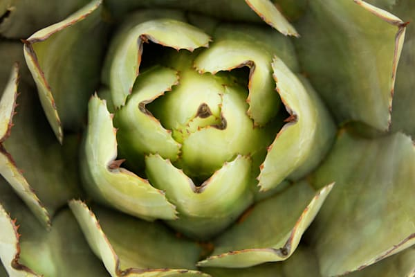 Abstract of an Agave Plant
