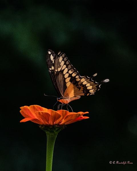 2020 R Ross Arts Challenge - Balance Butterfly - 8x10