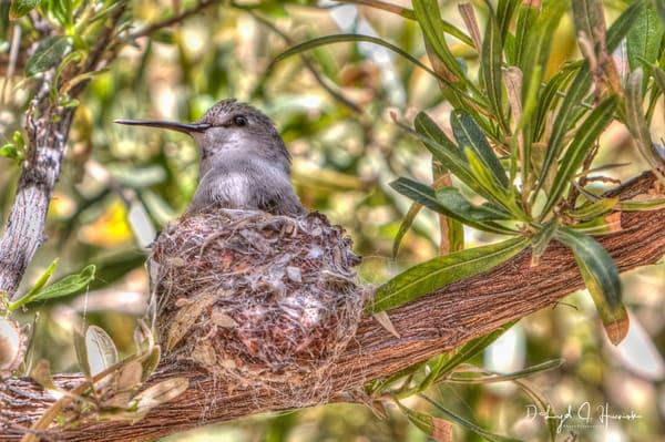 Hummingbird, Nest, nesting