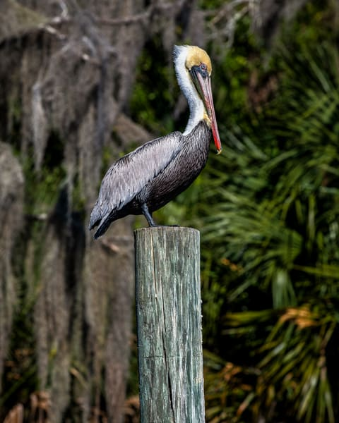 Pelican on point - bird photography prints