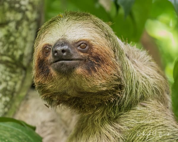 Sloth, Costa Rica, Bogardin, Photography