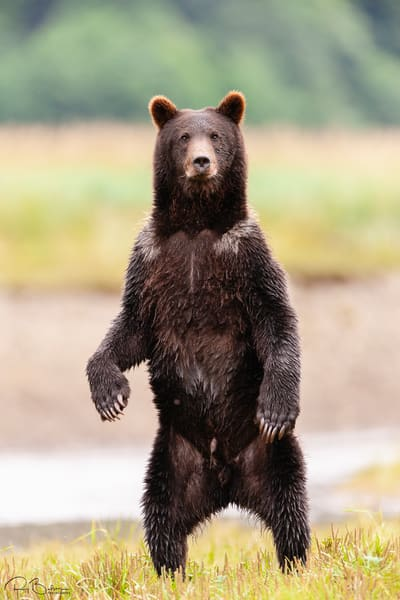 A curious brown bear (Ursus arctos) stands up on its hind paws near a salmon stream in Windfall Harbor of Admiralty Island National Monument in the Tongass National Forest of Southeast Alaska.  Summer.  Morning.