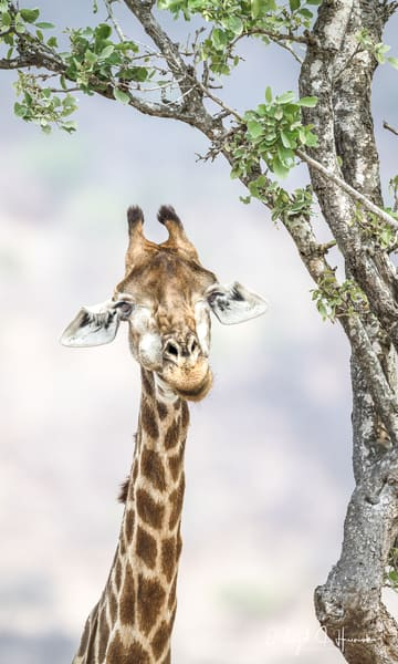 AFRICA, Giraffe, Kruger Park