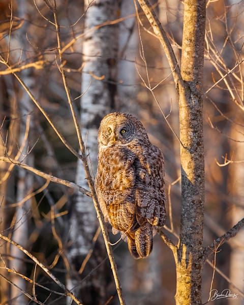 Day Is Done, Great Gray Owl Photography Art | brucedanz