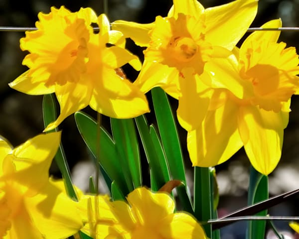 Early Spring Daffodils 22246