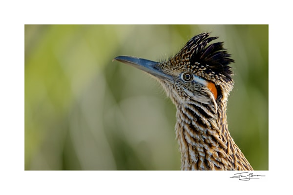 Photograph of a Roadrunner.  Signed print by award winning photographer.