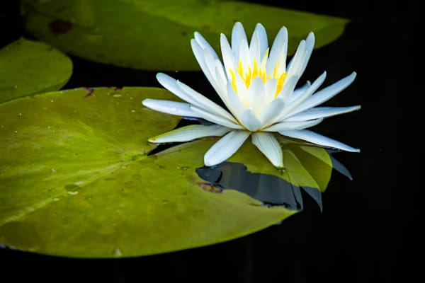 Fontainebleau State Park White Water Lily   Eugene L Brill