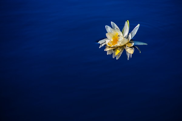 Fontainebleau State Park Wood's Blue Water Lily   Eugene L Brill