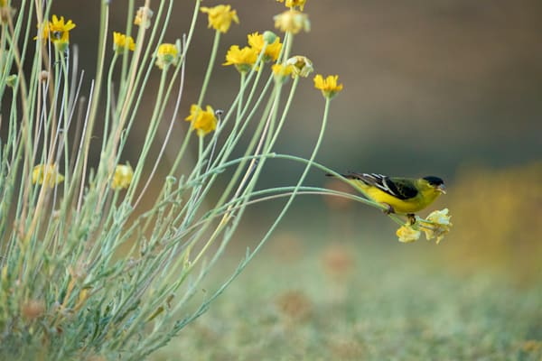 Lesser Goldfinch printed on recycled aluminum.