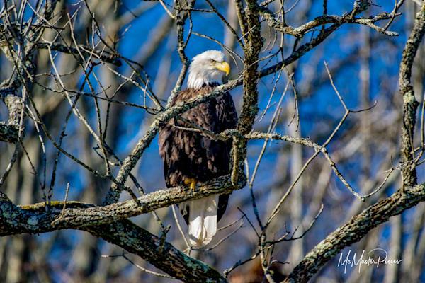TMcMaster-Bald-Eagle-Vigilant