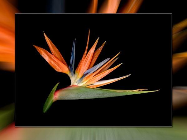 Bird Of Paradise H 3 D Photography Art | Whispering Impressions