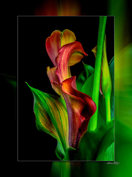 Calla Twist 3 D Photography Art | Whispering Impressions
