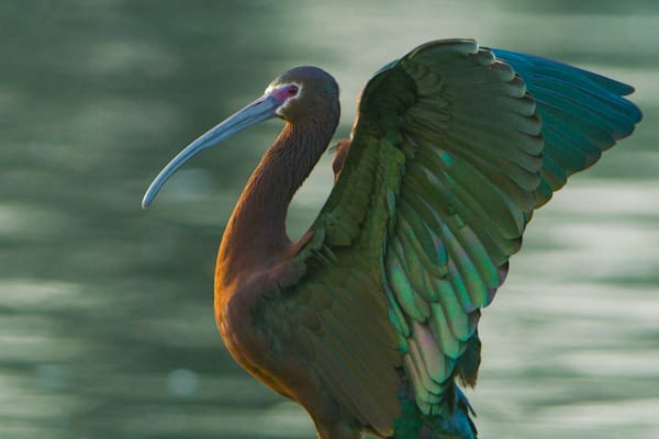 Wings Raised - White-faced Ibis printed on recycled aluminum