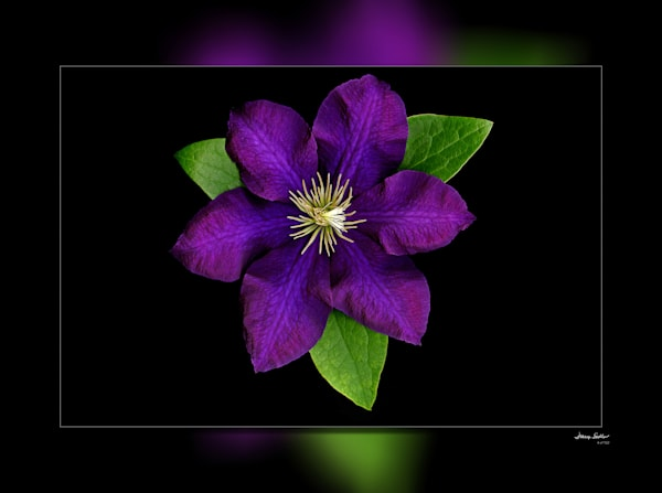 Clematis Purple 3 D Photography Art | Whispering Impressions