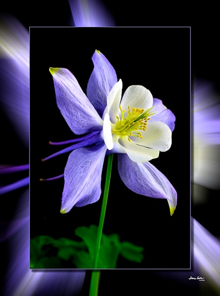 Columbine Purple  3 D Photography Art | Whispering Impressions