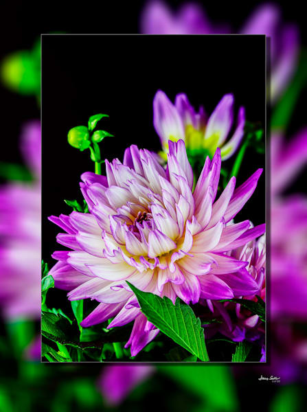 Dahlia Purple Full 3D
