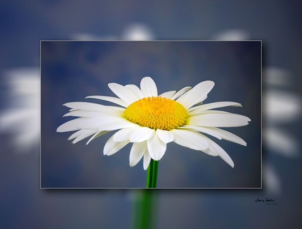 Daisy Blue Bkgrd H 3 D  Photography Art | Whispering Impressions