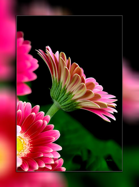 Gerbera Pink Pic 3 D Photography Art | Whispering Impressions