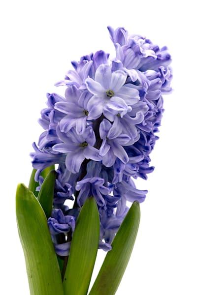 Hyacinth Purple  Photography Art | Whispering Impressions