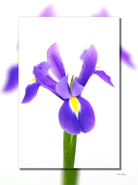 Iris Blue Flag 3 D  Photography Art | Whispering Impressions
