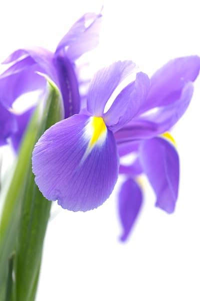 Iris Blue Flag 2265  Photography Art | Whispering Impressions