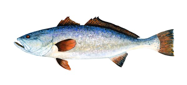 MPhillip-Spec-Trout