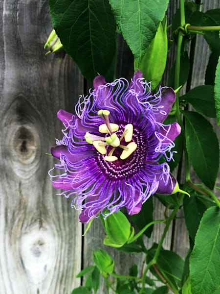 MPhillip-Passion-Flower