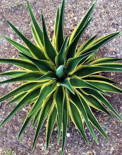 MPhillip-Agave-Cactus