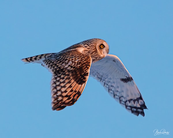 Short Eared Owl Fly By Photography Art | brucedanz