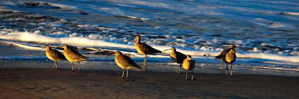 Sandpipers, Santa Cruz