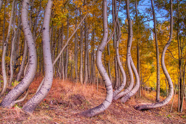 Dancing Aspen Trees Photography Art by Peter Batty Photography