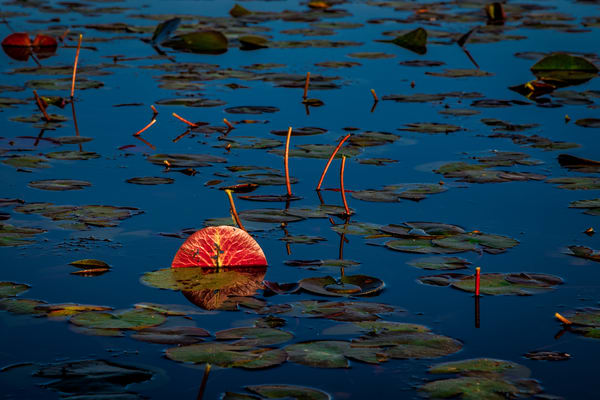 Lilies in the morning - Louisiana photography prints