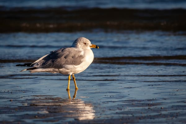 Ring-billed Gull II