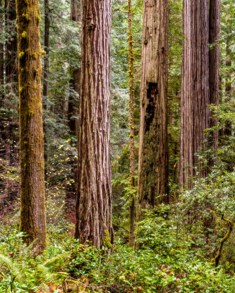 Redwoods - Northern California Coast