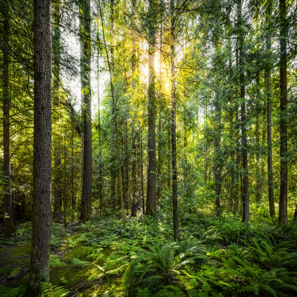 Forest Filtered Sun Art | James Alfred Friesen