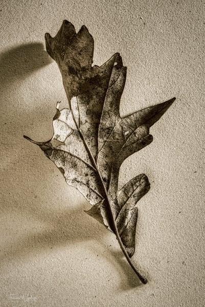 February Oak Leaf, 2020. Photograph by Thomas Wyckoff.
