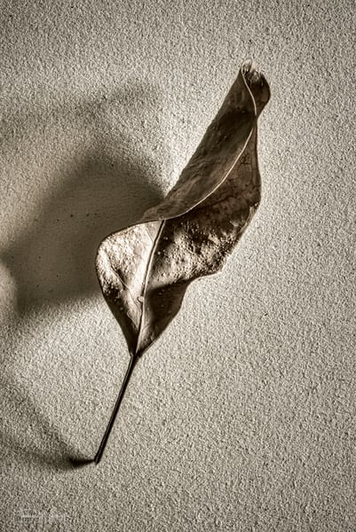 Dry Leaf #3, 2020. Photograph in black and white for sale by Thomas Wyckoff.