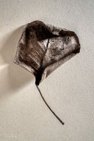 Dry Leaf #2, 2020. Photograph for sale by Thomas Wyckoff.