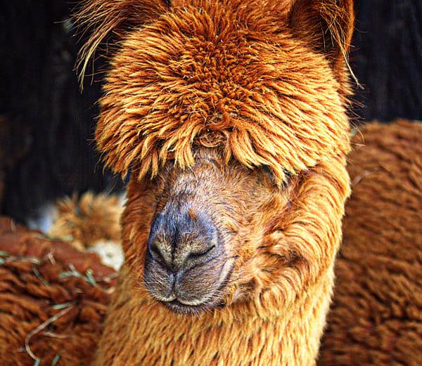 DBridges-Alpaca