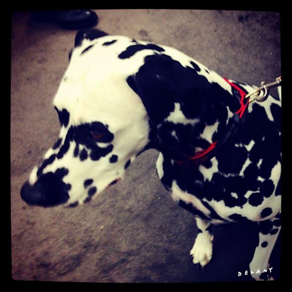 Dalmatian Beauty Instagram