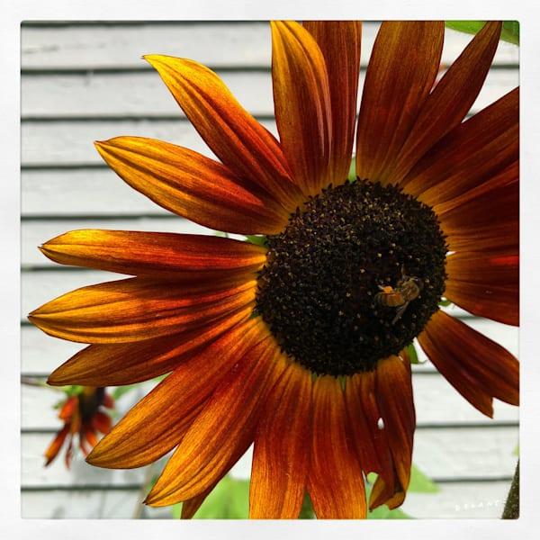 Instagram Honey Bee on Sunflower Print