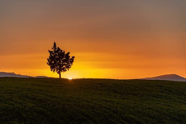 Lone tree mustard field sunset