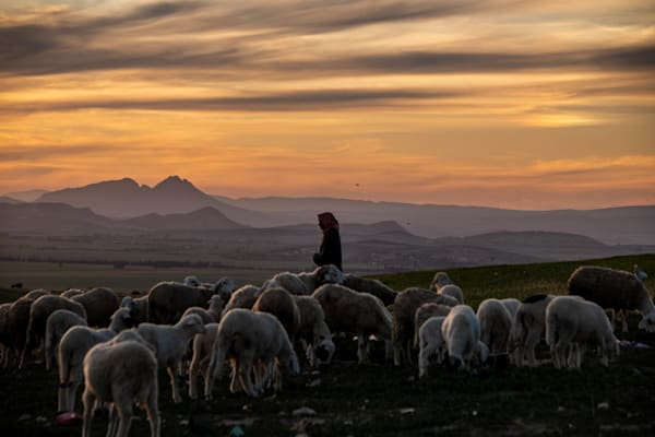 Herding sheep at sunset