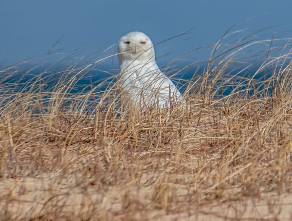 Chappy Snowy Owl 2020 Photography Art | Michael Blanchard Inspirational Photography - Crossroads Gallery