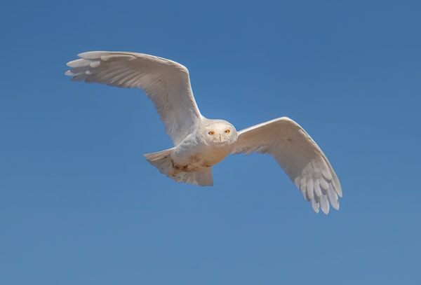 Chappy Snowy Owl in Flight 2020