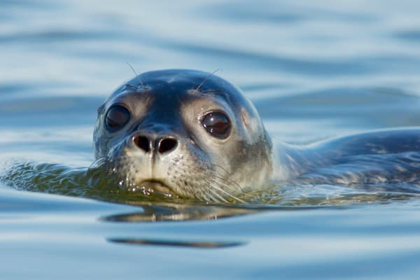 Maine Harbor Seal