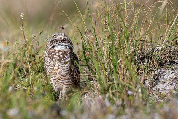 Adorable cute burrowing owl wondering if they are going to get stung, cute, burrowing owl, Cape Coral, Florida, bee, flying