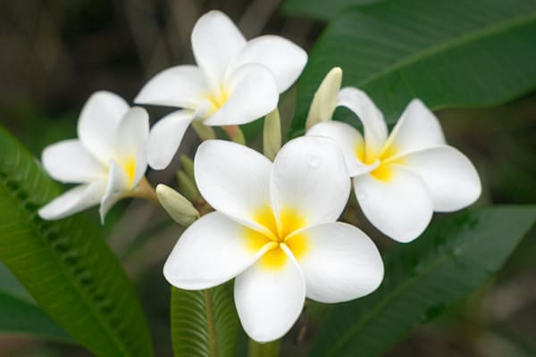 Pleasing Plumeria